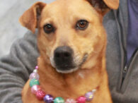 Nadia is a very friendly and outgoing 3 year-old All-American mutt who looks like she might have some Retriever, Shepherd, and Terrier in her family tree. She was adopted from a county dog shelter and was in her home for […]
