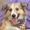 This handsome boy is Nate, a 2 year-old Collie mix who found himself homeless at an overcrowded rural county dog shelter and made the trip to Canine Lifeline so he could enjoy life in a foster home while searching for […]