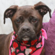 Teva is a gorgeous 2.5 year-old Boxer with a long tail who was adopted from a shelter as a puppy but recently confiscated from her home by animal control due to numerous complaints from neighbors that she was being beaten […]