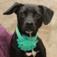 Aidie is a beautiful 1 year-old Pug/Terrier mix spayed female with a cute little underbite, a wonderful disposition, and lots of confidence. She was adopted from a shelter as a puppy but recently returned by her family because they were […]