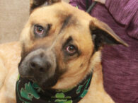 Ash is a 1.5 year-old Cattle Dog/Shepherd mix neutered male who was surrendered to a shelter along with his sister when his family had to move and their new landlord said the dogs couldn't live there. His sister was adopted […]