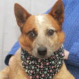 Atlas is a very kind, gentle, and well-mannered 2 year-old Cattle Dog who found himself homeless at an overcrowded county dog shelter and made the trip to Canine Lifeline so he could relax in a foster home while searching for […]