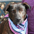 Diamond is a beautiful 2 year-old Mountain Cur mix spayed female with a pretty brindle coat. She came to Canine Lifeline to work on finding herself a wonderful new home after her previous owners couldn't keep her and she was […]