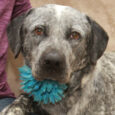 Eva is a beautiful 2 year-old girl who looks like she might be a mix of Cattle Dog and Great Pyrenees. She found herself homeless at an overcrowded rural county dog shelter and made the trip to Canine Lifeline so […]