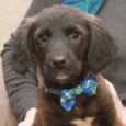 Finn is a charming 11 week old Retriever mix pup who came to us along with his three siblings. Their mom, a medium-sized black Retriever mix, was a pregnant stray who showed up at a home in a rural area. […]