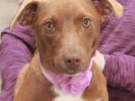 This lovely little lady is Franny, a bright-eyed and alert 1 year-old Feist/Mountain Cur mix female with a sweet disposition and a gorgeous milk chocolate and white coat. She found herself homeless at an overcrowded county dog shelter and made […]