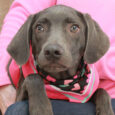 Jett is a very friendly and outgoing 7 month-old Weimaraner mix spayed female with beautiful eyes that match her pretty gray coat. Her owner could no longer care for her so surrendered her along with Camille to a local rescuer. […]