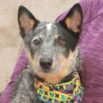 Cattle Dog lovers, meet Kona, a gorgeous 1 year-old whose markings are a true work of art. This lovely lady was adopted by someone to be a companion for her senior dog but the senior dog wasn't willing to accept […]