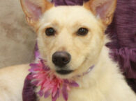 Kyah is a beautiful 1.5 year-old Yellow Lab/Terrier mix female with a scruffy look. She does shed and is NOT a hypoallergenic dog. Kyah was surrendered to an overcrowded county dog shelter by her family who could not keep her […]