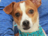 This delightful little gentleman is Mason, a 1 year-old Heinz-57 who looks like he's got a lot going on in his family tree—maybe a little JRT, Chihuahua, Pug, Doxie, who knows??? He's got an adorable little underbite, a curly tail, […]