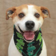 We just love this dog! Max is a 3 year-old Boxer/Hound mix male with a calm, gentle demeanor and a sweet smile. This guy was abandoned when his family moved out and let him. A neighbor took him in temporarily […]