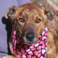 This gorgeous 9 month-old pup looks like the perfect mix of Mountain Cur and Cattle Dog with her beautiful brindle coat, speckled legs, and short tail. She came into an overcrowded county dog shelter as a stray so we have […]
