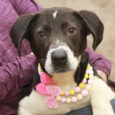 Olivia is a super-cute 1 year-old girl who looks like the perfect mix of Beagle and Border Collie. She was found as a stray and when she wasn't reclaimed at the local shelter, she made the trip to Canine Lifeline […]