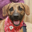 Ozzy is a gorgeous 1 year-old Mountain Cur mix male with beautiful markings, a great disposition, and a winning smile. This friendly guy was found as a stray and taken to the local county dog shelter. When he wasn't claimed […]