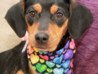 Princess has been through a lot over the last couple of months but she's now ready to find her true forever home. This 1 year-old Beagle/Doxie/Min Pin mix was living tied to a porch in a rural area and not […]