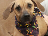 Scarlett is a very sweet and loving 1.5 year-old Black Mouth Cur mix girl who has definitely had a rough life. She was found as a stray in very poor condition. It looked as though she had recently finished nursing […]