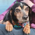 Meet Shiloh, a charming 7 year-old Beagle/Doxie mix boy who found himself homeless at an overcrowded county dog shelter. From there, he made the trip to Canine Lifeline so he could relax in a foster home and take his time […]