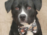 Simba is a very handsome 1.5 year-old Border Collie/Lab/your guess is as good as ours mix who came to Canine Lifeline to get a second chance at a happy life. He lived in a home with many other dogs including […]