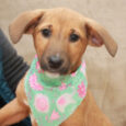 Sophie is a super-sweet 11 week old Retriever/Hound mix pup who came to us along with her three siblings. Their mom, a medium-sized black Retriever mix, was a pregnant stray who showed up at a home in a rural area. […]