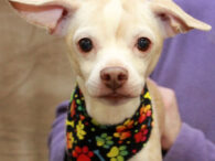 Tug is an absolutely adorable and super-charming 7 year-old Chihuahua/Pug mix neutered male who just could not be any sweeter. This little guy found himself homeless at an overcrowded county dog shelter where the shelter vet diagnosed him with a […]