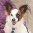 Walter is an adorable 5 year-old Papillon mix male with really impressive ears who was surrendered by his owner along with his buddy Winston because her boyfriend was abusive to the dogs. We don't know what type of abuse they […]