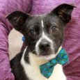 Winston is a super-cute 1.5 year-old Boston Terrier mix male who was surrendered by his owner along with his buddy Walter because her boyfriend was abusing the dogs. We don't know what this abuse entailed but we're glad she made […]