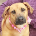 This beautiful 9-10 month-old Lab/Boxer/Shepherd mix girl is Belle. We don't have any history on his sweet dog as she was found as a stray. When she wasn't claimed at the local shelter, she made the trip to Canine Lifeline […]