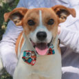 Brock is a super-cute, fun-loving 2 year-old Beagle mix who may have a little Jack Russell Terrier in his family tree. Hard to believe that this great dog was an unclaimed stray at an overcrowded county dog shelter but that […]