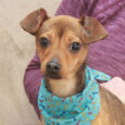 Little dog lovers will be head over heels for Clark, our adorable 5-6 month-old Chiweenie. This little guy came to us after his owner could no longer care for him and he was in search of a new home. We […]