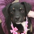 This spunky and very lovable 6-7 month-old pup found herself homeless at an overcrowded county dog shelter and made the trip to Canine Lifeline to be able to take her time finding the perfect new home. We have no history […]