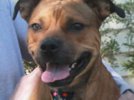 This charming Heinz-57 with the big grin is Elmer, a 3 year-old who found himself homeless at an overcrowded county dog shelter. From there, he came to Canine Lifeline so he could take his time finding a great new home. […]