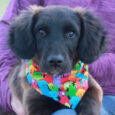 Finn is a gorgeous 4 month-old Retriever mix pup with the most interesting coloring. He's black with lots of beautiful brown and rust colored highlights as you can see in some of his photos. He came to us in early […]
