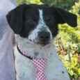 Frisky is a really cute 5 year-old Border Collie/Aussie/Spaniel mix neutered male with beautiful black and white markings. He came into an overcrowded rural county dog shelter as a stray and when he wasn't claimed, made the trip to Canine […]