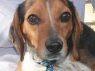This adorable little camera shy Beagle is Grady. He was found as a stray and take to the local county dog shelter in the hopes that his owner would claim him. Unfortunately, no one came for him so he made […]