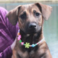 Josie is a bright-eyed and alert 5 month-old pup who found herself homeless at an overcrowded rural county dog shelter along with her twin brother Jed. We don't have any history on these pups but our best guess on breed […]