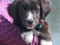 Lincoln is a super-cute 13-14 week-old Lab mix male who was one of a litter of 5 unwanted pups born to a Yellow Lab mix female. The mama dog belonged to someone who could not afford to get her spayed […]
