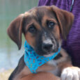Linus is a charming and very lovable 13-14 week-old Lab mix male who was one of a litter of 5 unwanted pups born to a Yellow Lab mix female. The mama dog belonged to someone who could not afford to […]