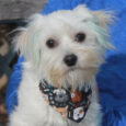 Meet Luke, a spunky and very busy little 10 month-old Maltese/Yorkie mix who's had a rough life to date. He was found as a stray with his beautiful white coat dyed completely blue. The shelter ultimately located his owner who […]