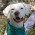 This beautiful 5-6 year-old Pointer/Hound mix is Oakley. She's all white with brown polka dots on her ears—very cute! This sweet girl was found as a stray and taken to the local county dog shelter. No one claimed her there […]