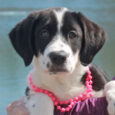 Spice is a beautiful 13-14 week-old Lab mix female who was one of a litter of 5 unwanted pups born to a Yellow Lab mix female. The mama dog belonged to someone who could not afford to get her spayed […]