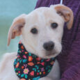 Sugar is a sweet and loving 13-14 week-old Lab mix female who was one of a litter of 5 unwanted pups born to a Yellow Lab mix female. The mama dog belonged to someone who could not afford to get […]
