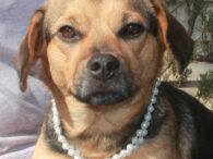 You'd be hard-pressed to find a cuter little dog than Topaz, a 1.5 year-old Beagle mix who is likely to have some Doxie and Pug in her family tree too. She has short legs and a long body and just […]