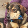 Meet Asher, a very kind and gentle 3 year-old Shepherd mix. He made the trip to Canine Lifeline from an overcrowded county dog shelter so he could relax in a foster home while searching for a permanent new home. While […]