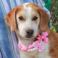 Betty is a shy but sweet and loving 1 year-old Beagle/Collie mix spayed female who's had a rough time of it lately but is now ready to make a fresh start in a new home. Her owner died and she […]