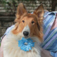 Calista is a beautiful 1.5 year-old Collie who was surrendered to a partner rescue along with her buddy Poppy by a backyard breeder who, fortunately, no longer had time for the dogs. The rescue reached out to us for help […]
