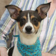 Little dog lovers, meet Cash! This adorable 5 month-old Rat Terrier mix pup has it all—great looks and a terrific disposition. Hard to believe that this little squirt finds himself looking for a new home but apparently his previous family […]