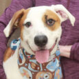 This cutie is Chaplin, a 10 month-old Boxer mix with loads of personality and adorable markings too. He was found as a stray in a rural area and when he wasn't claimed, made the trip to Canine Lifeline so he […]