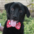 Colby is a very cute 1 year-old Lab mix male who may have some Border Collie in the mix given his somewhat longer coat. This pup found himself homeless at an overcrowded county dog shelter and made the trip to […]