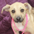 Looking for a little dog who's comfortable in your lap but also has the energy to keep up with the big dogs? That's our little girl Dixie, a 1 year-old mix of Chihuahua, Terrier, and who knows what else. This […]