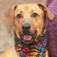 Here's Duke! This handsome 2 year-old Mountain Cur mix male is sweet, fun-loving, and an all-round great dog. He was found as a stray and when he wasn't claimed, went into a foster home until he could make the trip […]
